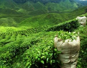 Grün, grün und noch mehr grün - das sind die Teeplantagen in Japan